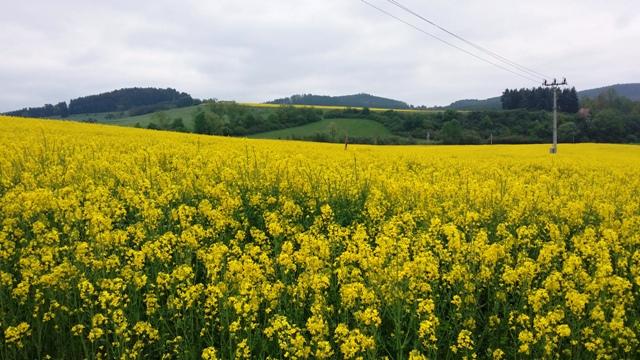 Řepkové pole na Volyňsku