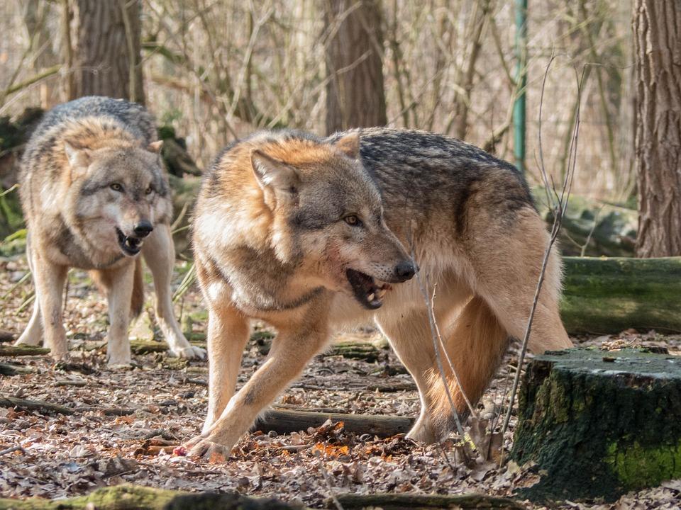 Vlci se vracejí do volné přírody. Na Šumavu i na sever Čech