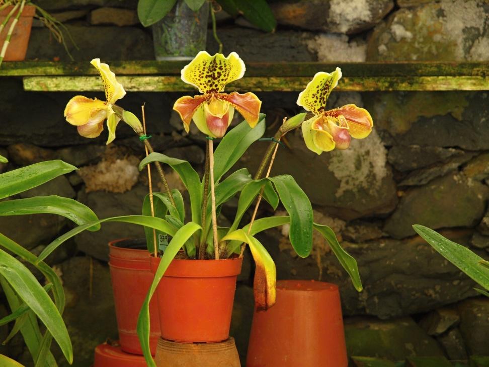 Orchidej rodu Paphiopedillum