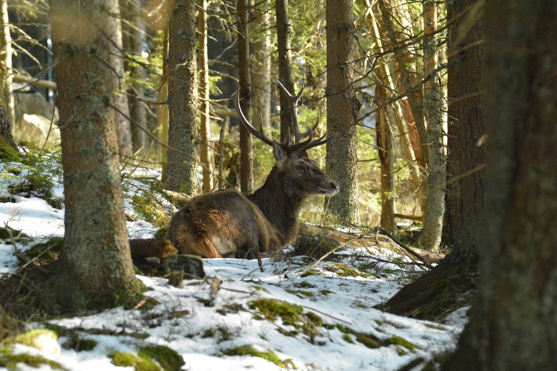 Jelen v Národním parku Šumava