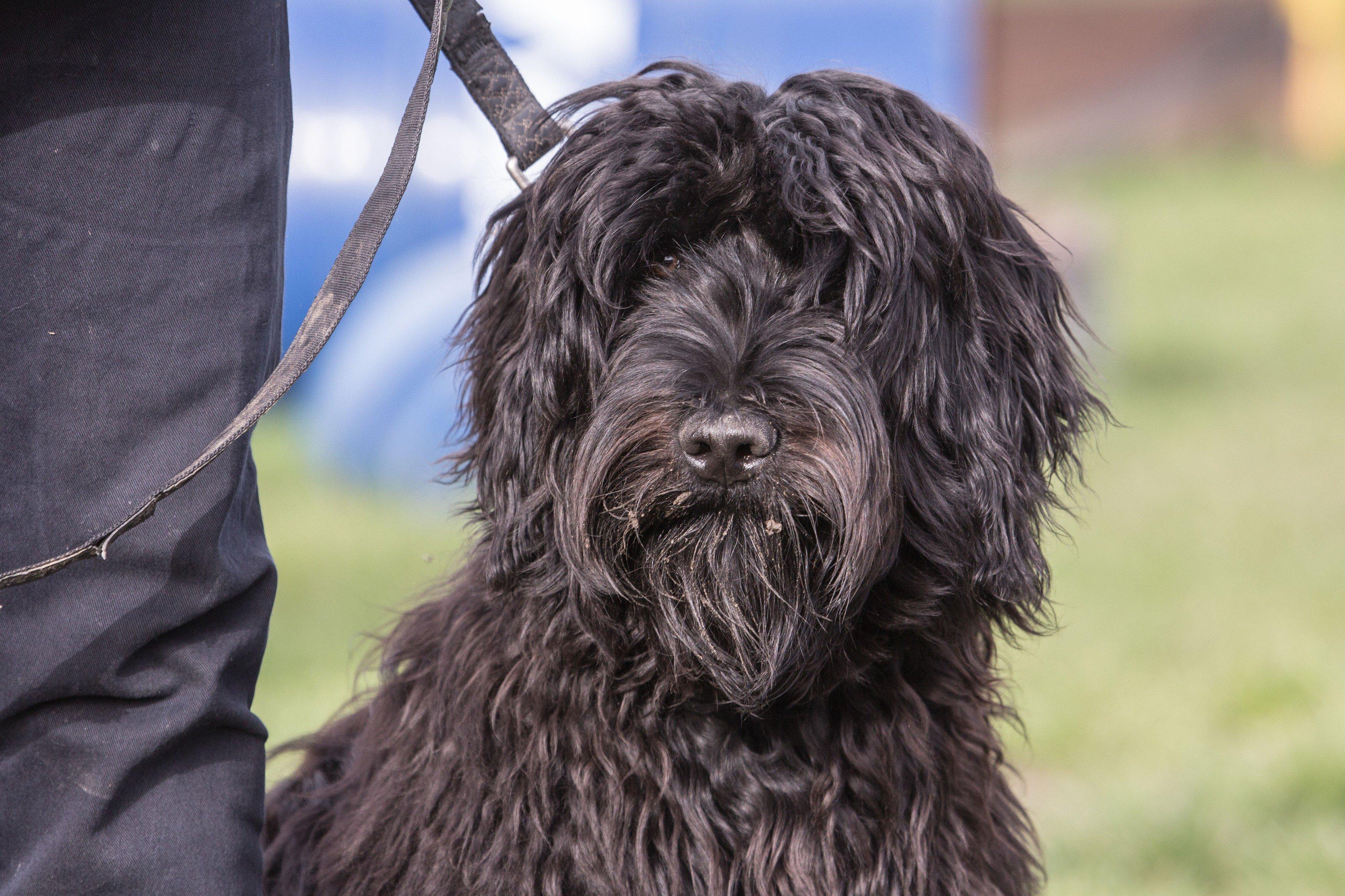 Flanderský bouvier, pes