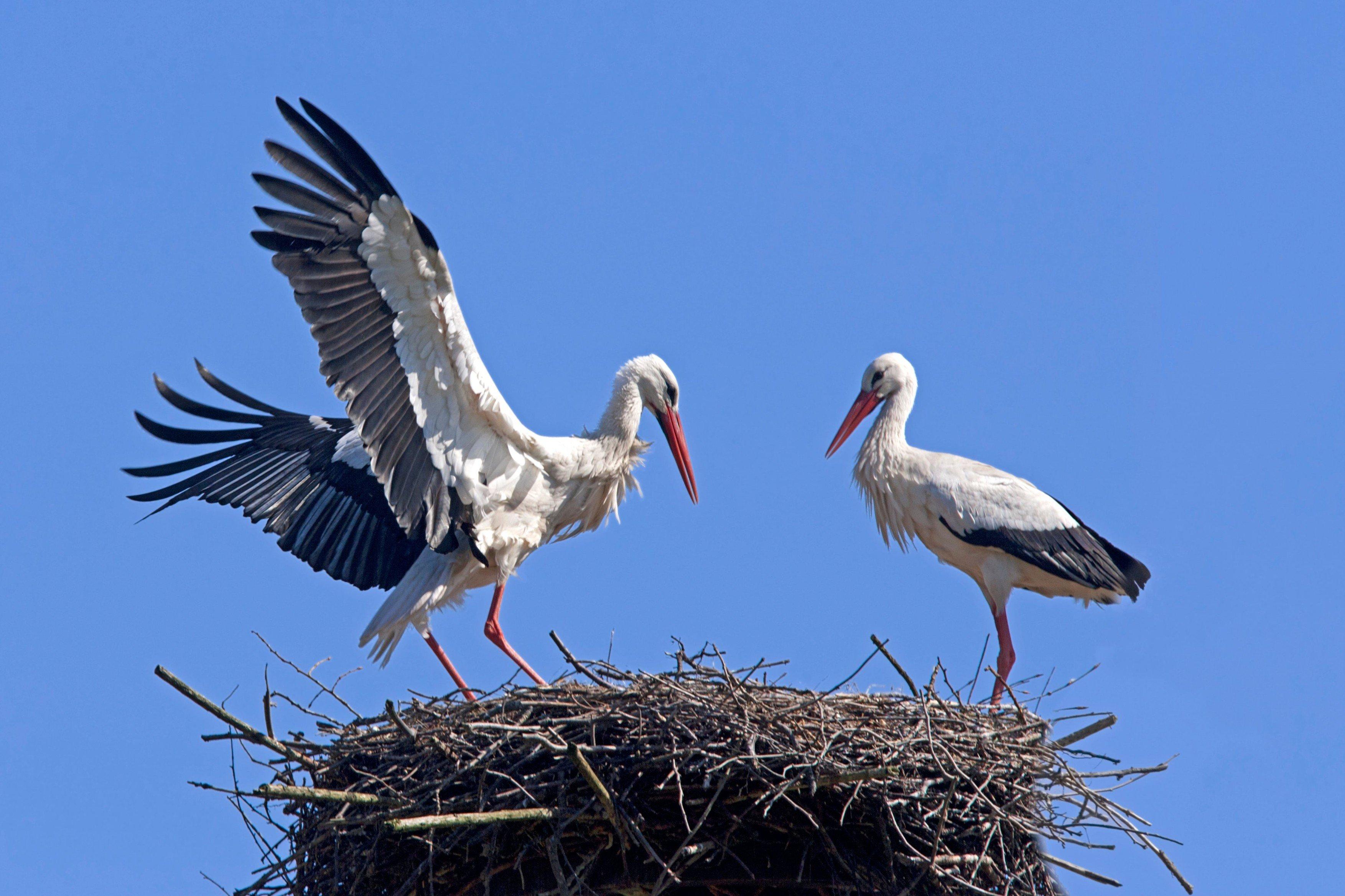 velké bílé ptáky fotografie