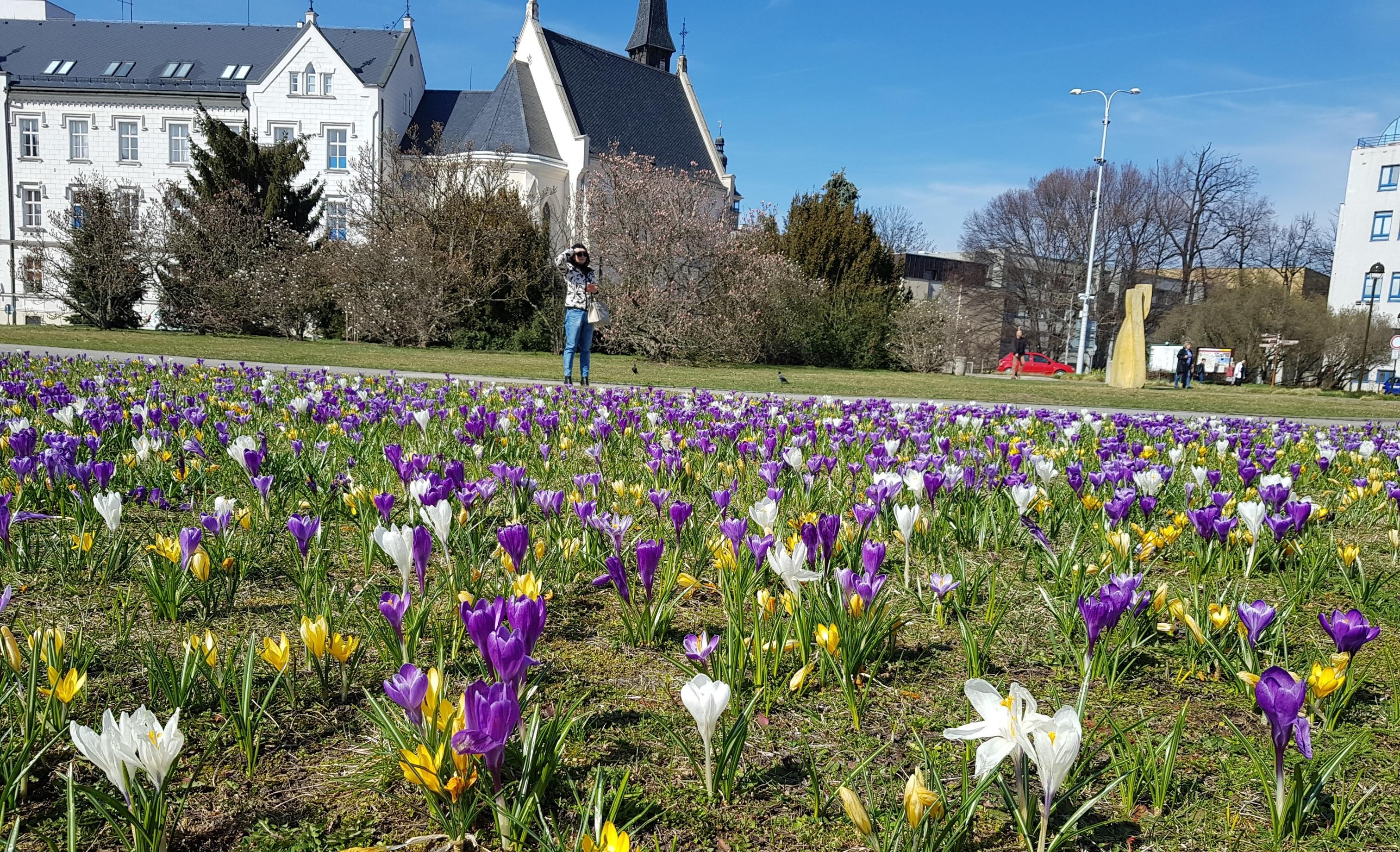 Jaro, krokusy, rozkvetlé květiny, Senovážné náměstí České Budějovice