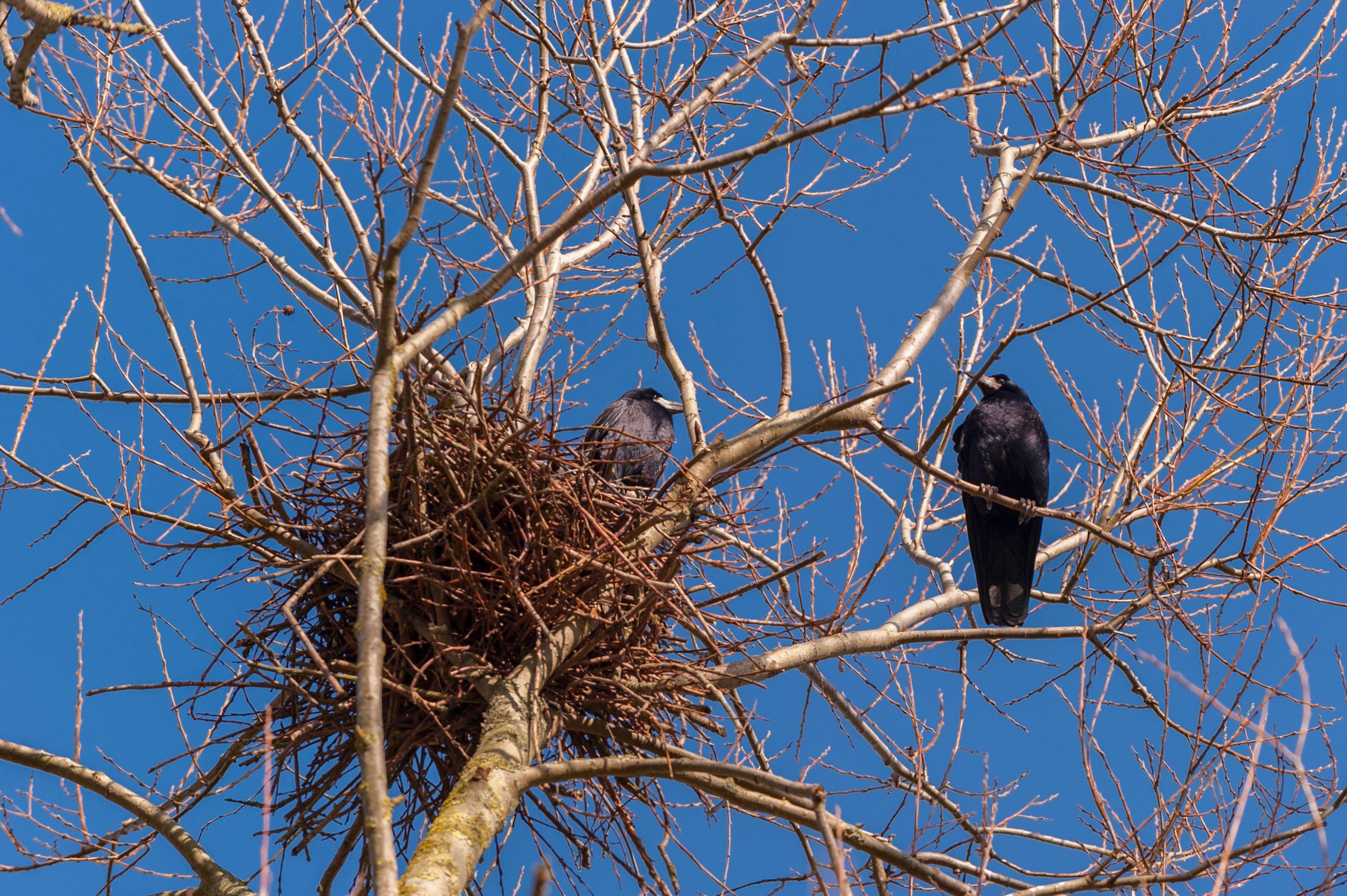 Havrani, hnízdo, ptáci