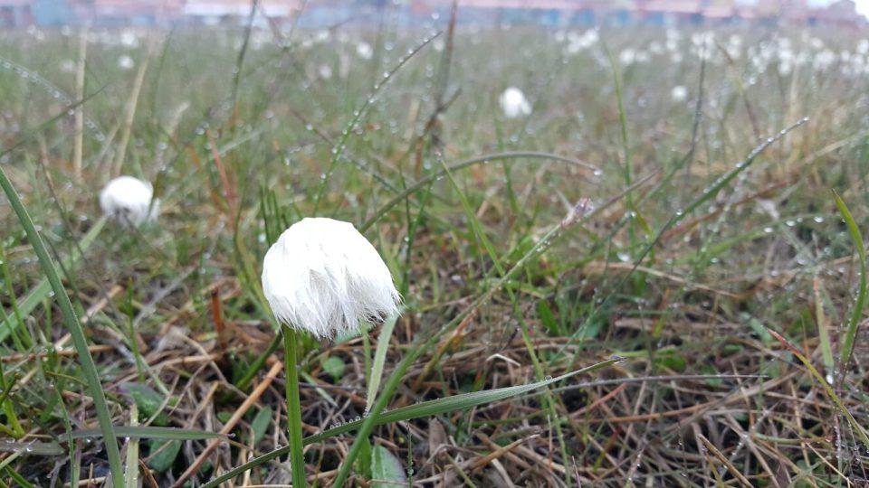 Rostliny na podmáčené louce u moře, jen kousek od prvních domků městečka Longyearbyen