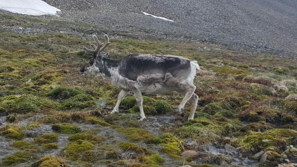 Romaně Lehmannové se v Arktidě podařilo přiblížit k polárním sobům