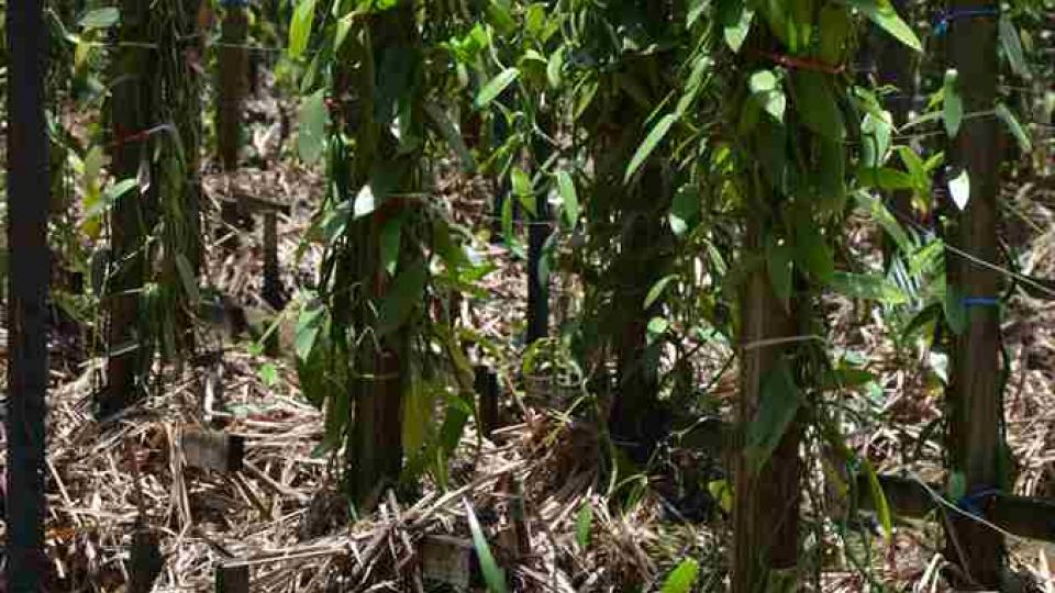 Vanilka na Mauriciu - malá plantáž za zamčeným plotem