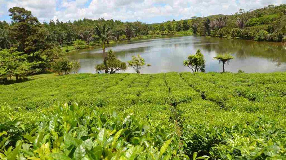 Cajovníková plantáž Bois Cheri na ostrově Mauricius