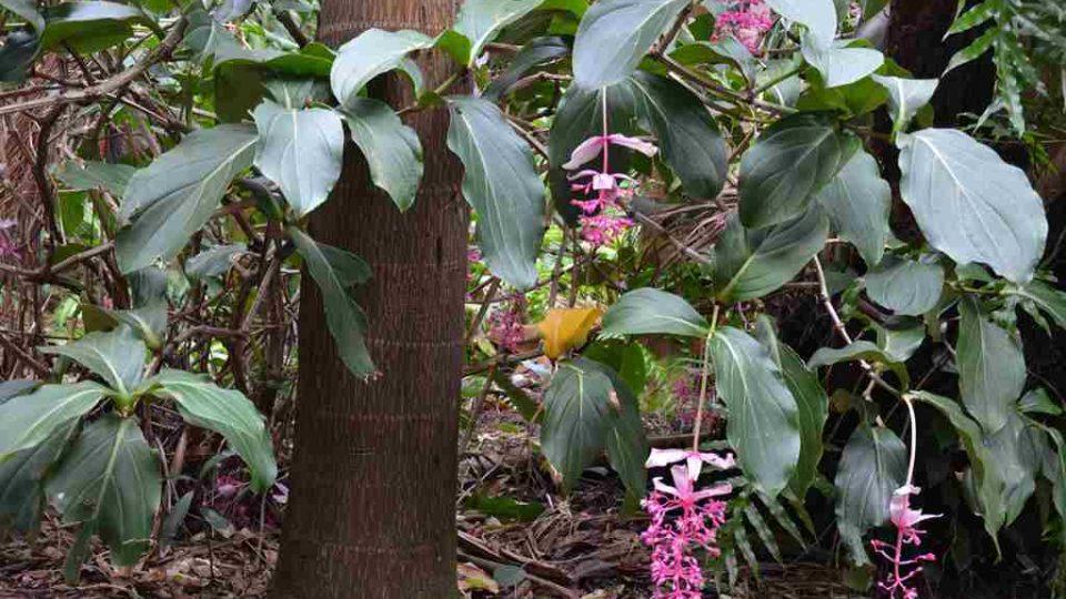 Zahrada koření a vůní na ostrově Reunion - Medinilla magnifica