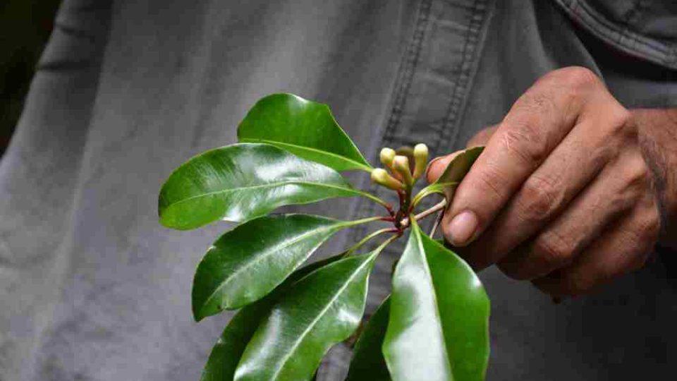 Zahrada koření a vůní na ostrově Reunion - hřebíček