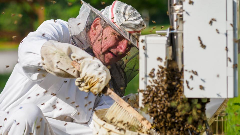 Včelař Václav Krištůfek z Biologického centra Akademie věd v Českých Budějovicích sbírá roj včel