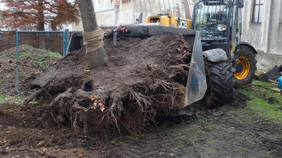 Přesazování obrovského dubu