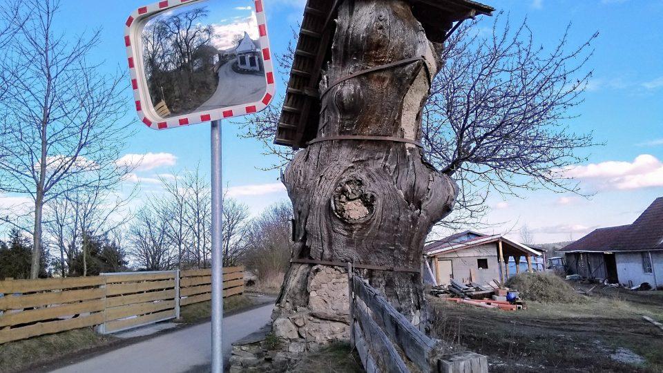 Dub v Opalicích u Kamenného Újezdu. Průměr kmene má bezmála tři metry, obvod přes osm metrů a jeho čtyřmetrový zastřešený kmen je uvnitř vyzděný..jpg