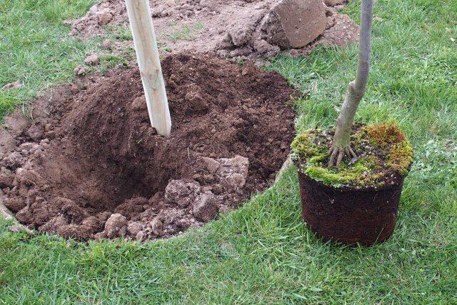 Natlučeme oporné kůly, aby stromy byly dobře kotvené. Jestli jsou kůly hranaté, musíme udělat vše pro to, aby se kmínky o hrany kůlu nepoškozovaly