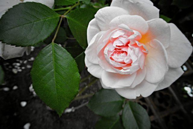 Růže - královny květin