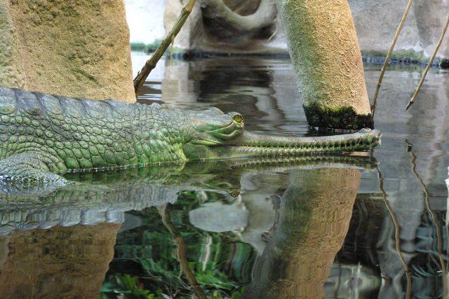 V přírodě žije posledních 200 gaviálů. Zoo Praha bojuje za jejich záchranu