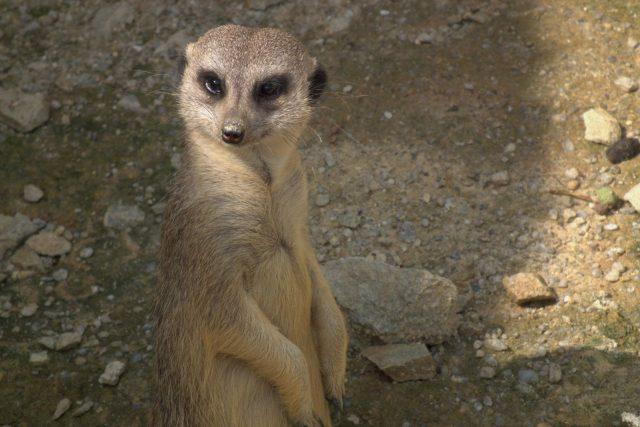 Zato surikaty byly zvědavé, kdože to ruší jejich odpolední siestu