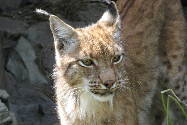 Nejstraktivnějším zvířátkem se stanici Pasíčka je rys ostrovid