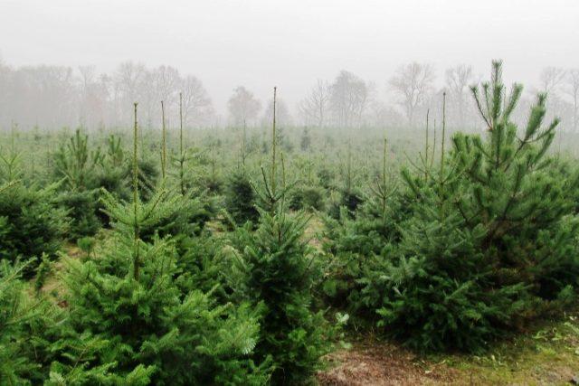 Plantáž stromků u Stratova na Nymbursku