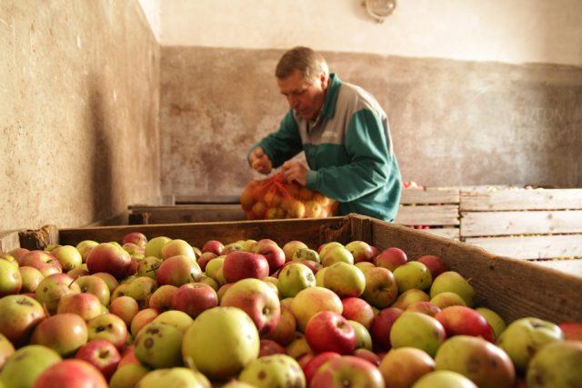 Prodej padaných jablek se letos vyplatí