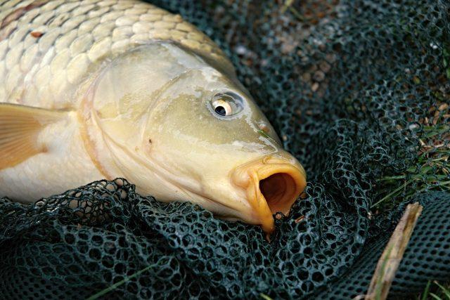 Kapr, ryba, rybolov (ilustrační foto)