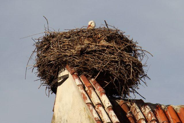 Čápi od nepaměti hnízdí na hřebenu střechy kostela v Dubném. Samec už hnízdo obsadil a čeká na samičku