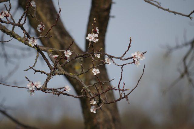 Jabloň, květ, strom, jaro
