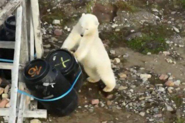 Lední medvěd se dobývá do sudů s odpadky u chaty vědců v Arktidě