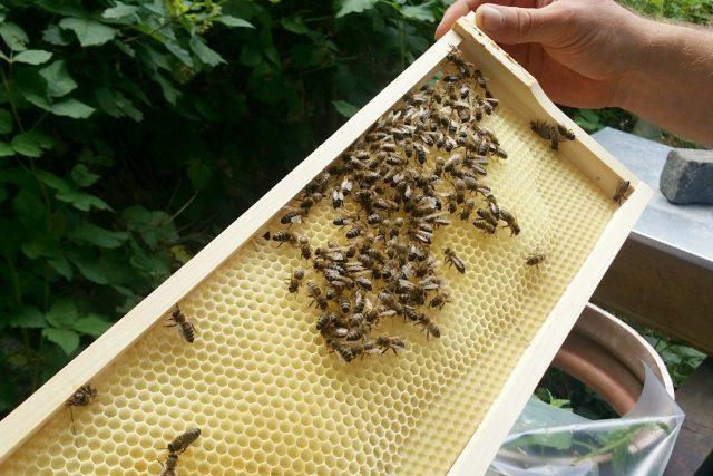 Včelí mor se na Liberecku šíří od letošního jara, podle včelařů úředníci nejednají dost rychle