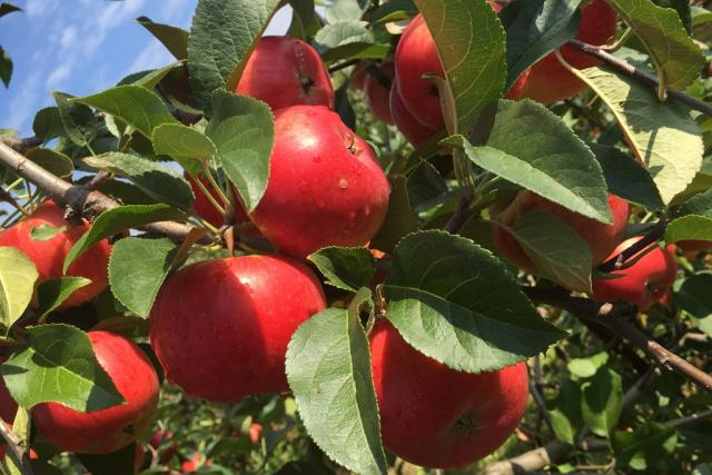 Jablka v sadu u Třebanic na Prachaticku jsou letos pěkně vybarvená a velká | foto: Jitka Cibulová Vokatá