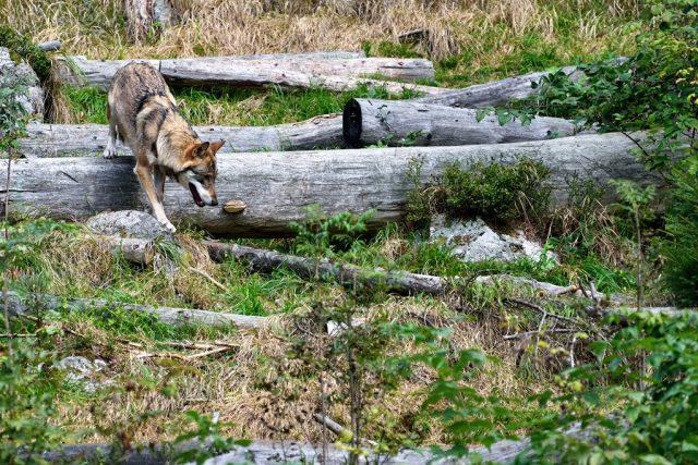 Vlky mohou lidé na vlastní oči vidět v Srní na Šumavě. Žijí zde v oploceném areálu,  nad kterým vede lávka pro návštěvníky | foto: Jiří Čondl