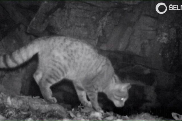 Kočka divoká zachycená fotopastí Rysích hlídek Hnutí Duha