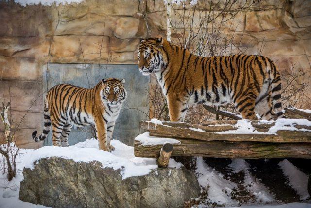Tygří pár Oliver a Altaica v Zoo Hluboká si zvyká na soužití ve společném výběhu