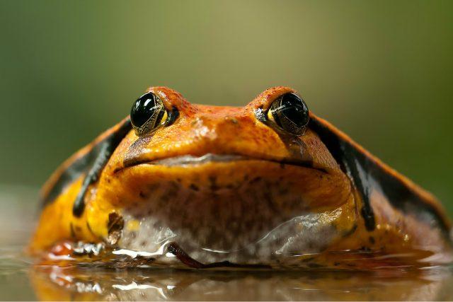 Pozornosti gastronomů se těší žabí stehýnka, pozornosti přírodovědců žabí jazyk a sliny