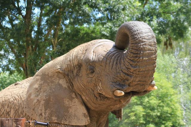 Zoo Dvůr Králové - Slon Kito