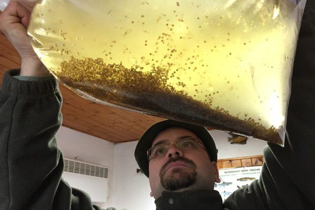 Líheň Rybářství Třeboň. V březnu rybáři uměle vytírají štiky, na snímku vedoucí chovu ryb Zdeněk Eisert