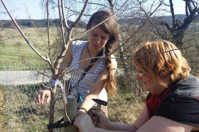 Dobrovolníci obnovili třešňovou alej mezi Bušanovicemi a Dolními Nakvasovicemi