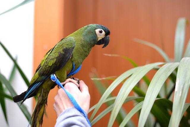 Papoušek Ara maracana