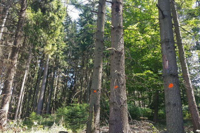 Kůrovcem napadený smrkový les na Dačicku