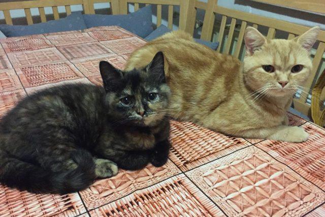 Dvě britské kočky Vladimíry Novotné z Českých Budějovic. Zvířata podle ní v domácnosti asistují u všeho