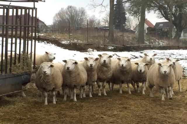 Ovce plemene texel