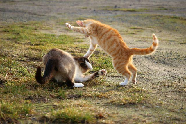 Kočičí bitka