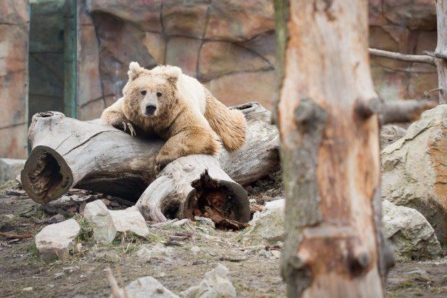 Medvěd plavý v Zoo Hluboká