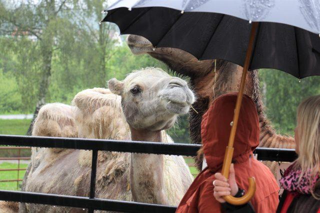 V Zoo Dvorec u Borovan na Českobudějovicku se uskutečnil křest samičky velblouda dvouhrbého, kmotrem se stal Český rozhlas České Budějovice