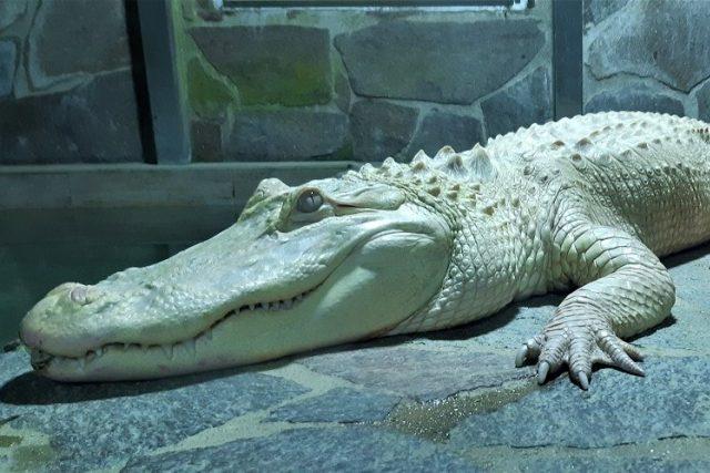 Hugo,  krokodýl albín v Krokodýlí ZOO Protivín   foto: Krokodýlí ZOO Protivín