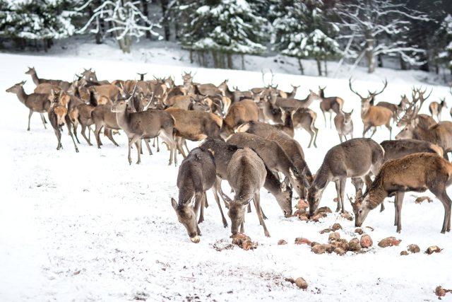 Z pozorovacího srubu u Srní lidé uvidí  krmení desítek kusů jelení zvěře