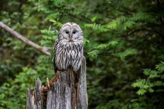 Puštík bělavý (Strix uralensis), sova, příroda, les