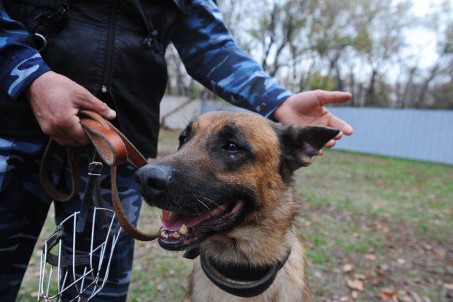 kynologie, německý ovčák, výcvik psa, ilustrační foto