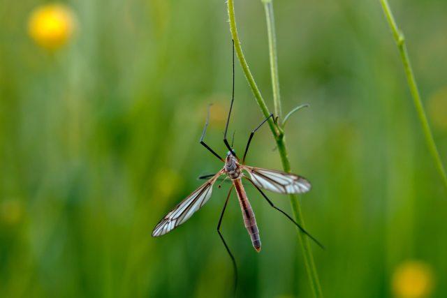 komár nematocera, hmyz, příroda. Ilustrační foto