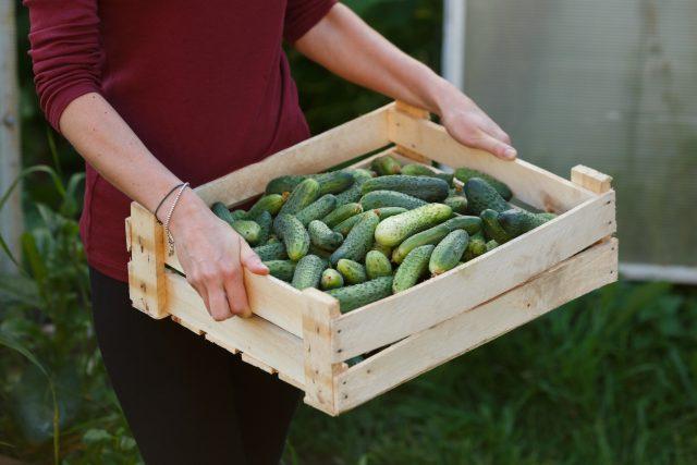 Okurky, farma, sklizeň, bedýnka, zelenina, pěstování